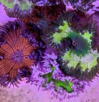 Flower Anemone, Ultra - Epicystis crucifer (3 Pack)