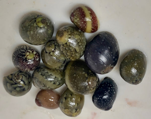 Nerite Snail - Nerita virginea - 6, 12 and 24 Lots