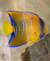 Angel Fish, Small Queen -Holacanthus ciliaris  Bright Phase