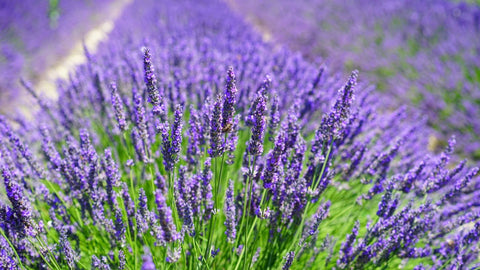 lavender-favorite-essential-oils-athletes-performance-recovery