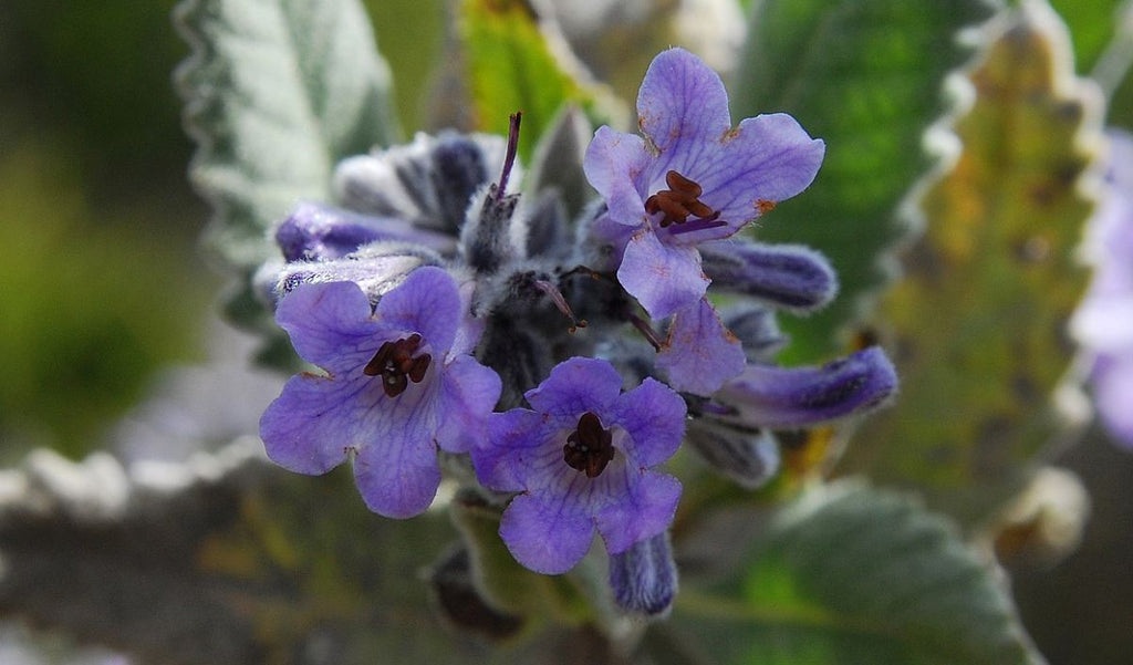 Yerba Santa--breaking through barriers to heal