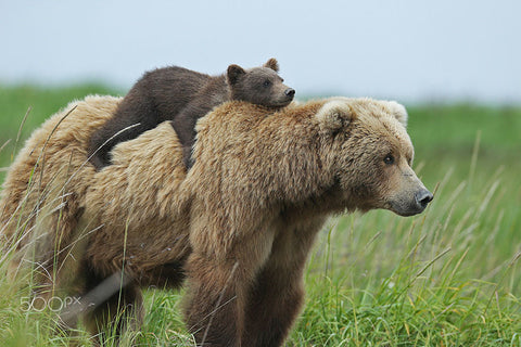 Spirit bear with brown bear cub piggy back.
