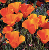 California Poppy Tincture from Arati