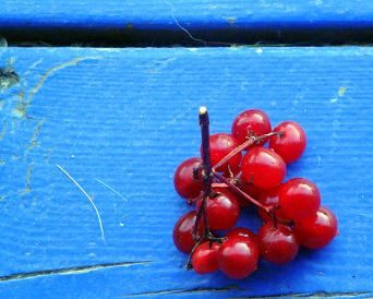 The Wild Side of Stink - American Highbush Cranberry