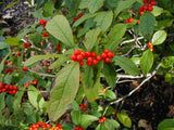 Winterberry (Ilex verticillata) 30 SEEDS