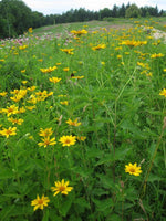 Ox Eye Sunflower - Heliopsis helianthoides