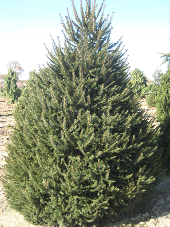 Norway Spruce (Picea abies Boehmerwald) 50 Seeds