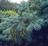 Lincoln Douglas Fir (Pseudotsuga taxifolia glauca Lincoln) 20 Seeds