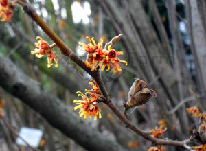 Witch Hazel Hybrid (Hamamelis intermedia) 20 Seeds
