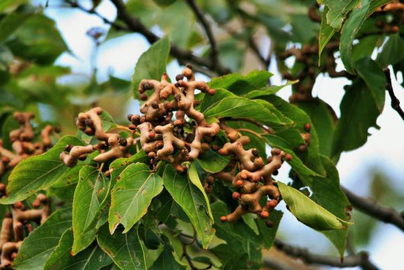 Japanese Raisin Tree (Hovenia dulcis) 10 seeds