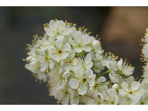 Native American Plum (Prunus americana)
