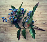 Oregon Grape (Mahonia aquifolium c.s.) 20 Seeds