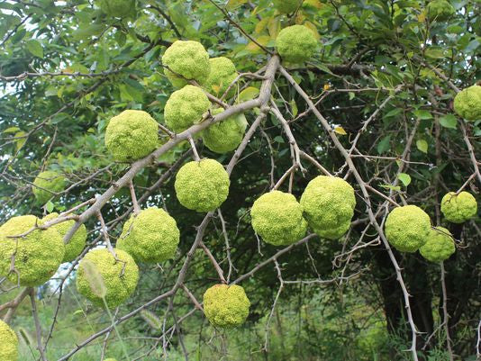 Osage orange (Maclura pomifera) Plants