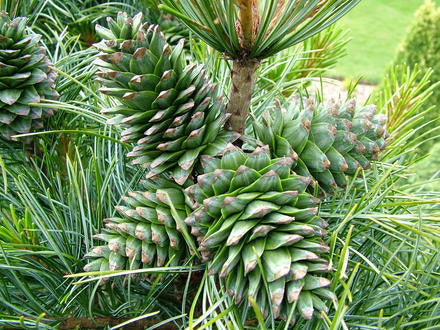 Korean Nut Pine (Pinus Koraiensis) 20 Seeds
