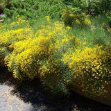 Scotch Broom(Cytisus scoparius) 25 Seeds