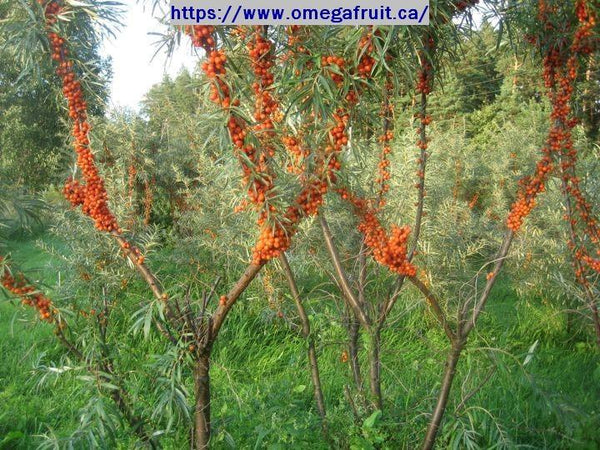 SEABERRY -Unsexed (Hippophae rhamnoides) Plants
