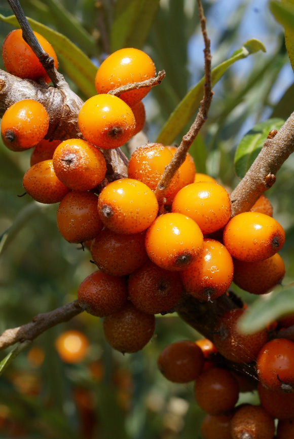 SEABERRY -Unsexed (Hippophae rhamnoides) Plant