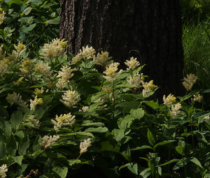 Solomon's Plume Seed (Maianthemum racemosum) 25 Seeds