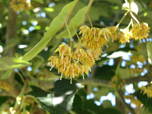 Linden tree seeds for sale. Manchurian Linden Bee Tree