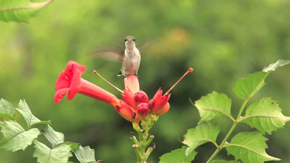 Trumpet Creeper(Campsis radicans wings) 50 Seeds