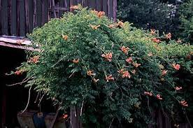 Trumpet Creeper(Campsis radicans wings)