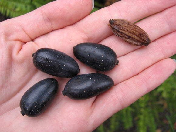 Water Tupelo (Nyssa aquatica) 14 Seeds