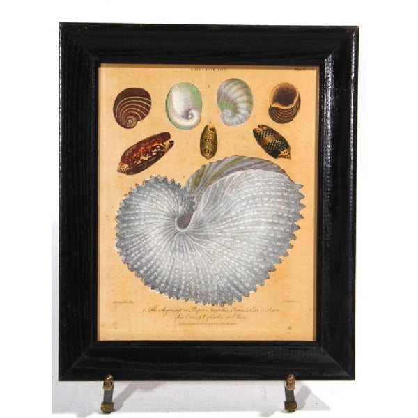 Antique Sea Shells Engraving - The Posh Shop