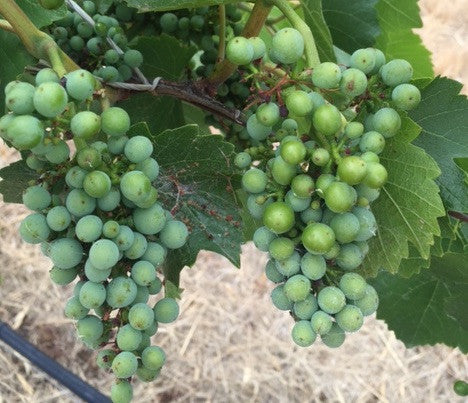 Vintage 2016 - Longview Creek Pinot Noir