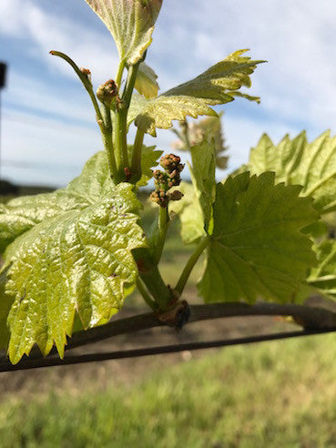 Budburst at Longview Creek and This Years Love Vineyard's