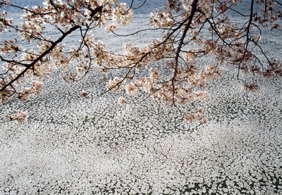 Floating Blossoms With Branches