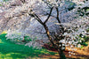 Cherry Blossoms, New York Botanical Gardens