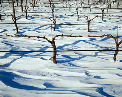 Grapevines In The Snow