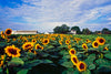 Sunflowers,  Riverhead