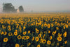 MidWest Sunflower Field