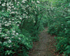 Trail With Mountain Laurel