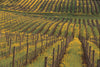 Carneros Creek Vineyard