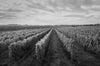 Wolffer Estate Vineyard B&W