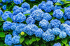 Blue Hydrangea In Home