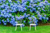 Two Chairs and Blue Hydrangea