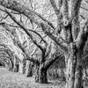 Row of Cherry Trees Fall B&W