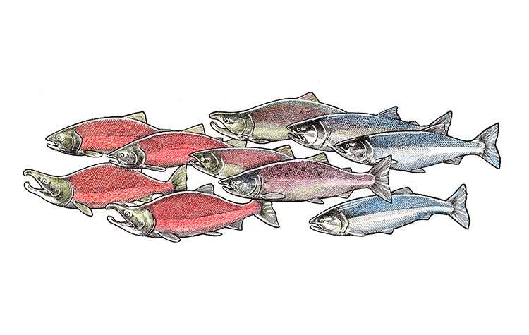 T-Shirt - Salmon School Art (All Season)