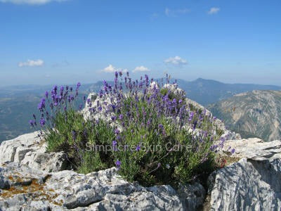The best natural skin care uses lavender grown at high altitude