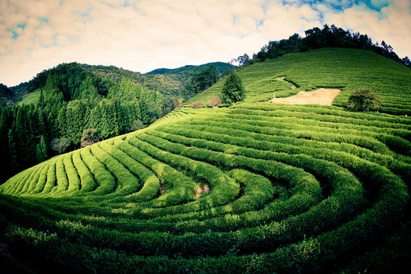 Why Most People Will Never Taste the Best Tea in the World
