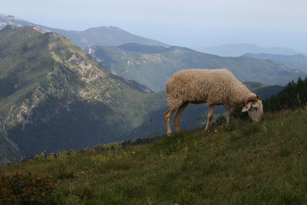 FOOD BANK: Raw Alpine Sheep's Yoghurt - Ligurian Alps, Mendatica 1700m