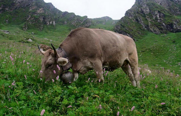 Legendary Raschera d'Alpeggio DOP, 100% raw alpine cow's summer milk
