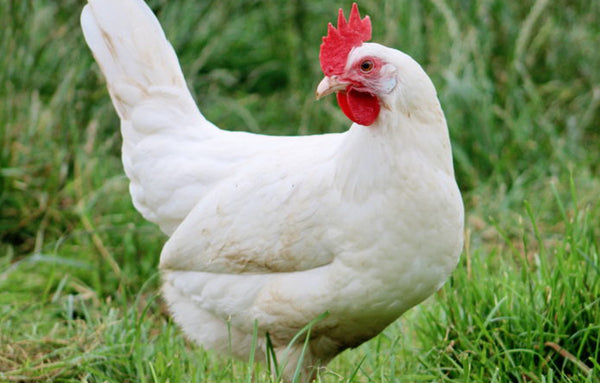 Chicken Livornese - pure Italian breed pastured in freedom