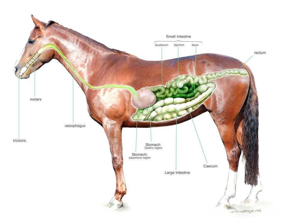 The Equine Digestive System PDF