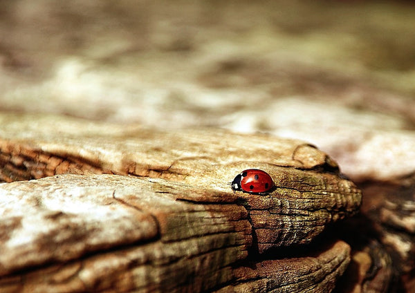 The Mystery of the Ladybug