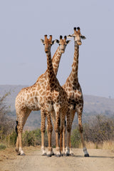 Kruger National Park, South Africa, Giraffes