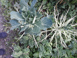 Ravaged brassicas munched by caterpillars of cabbage white butterfly. Will have to net them next year.
